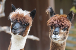 Two adorable furry alpacas in shades of brown, tan and white with dark ears