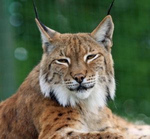 A close up photo of a brown and white bobcat with a green background.