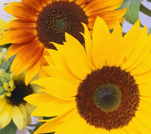 Two yellow sunflowers
