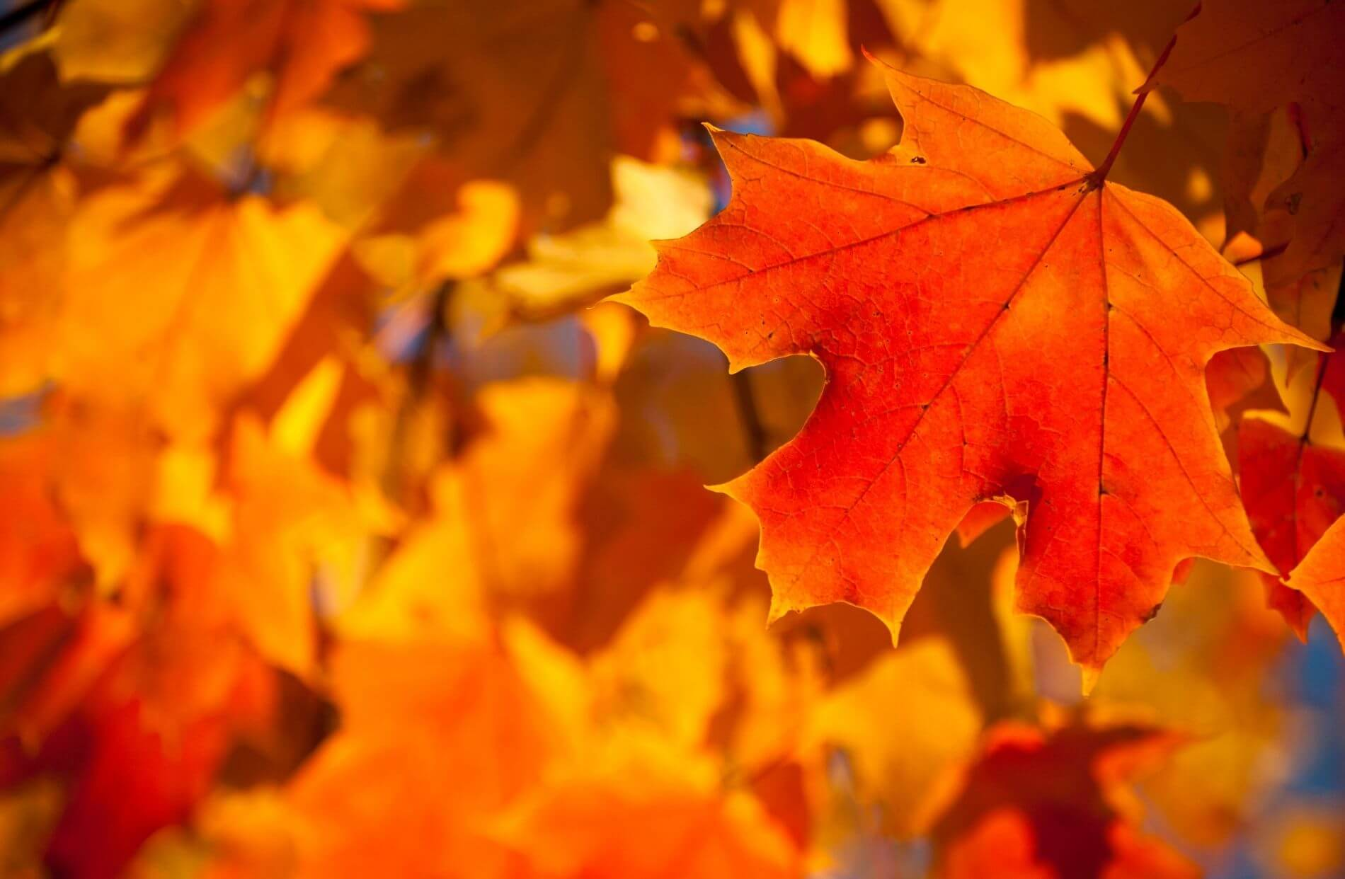 orange, red and gold leaves hanging on tree during fall season